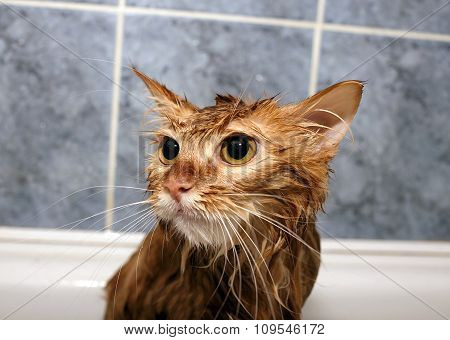 Red-haired Cat Wet
