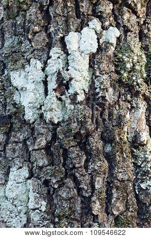 Huge oak bark as background, close up