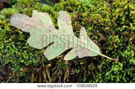 Withered oak leaf in the autumn placed on moss