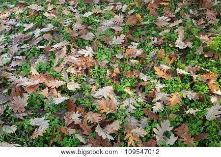 Ground full of fallen oak leaves in autumn