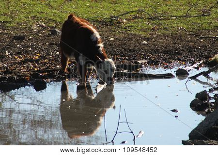 Calf at Water Hole