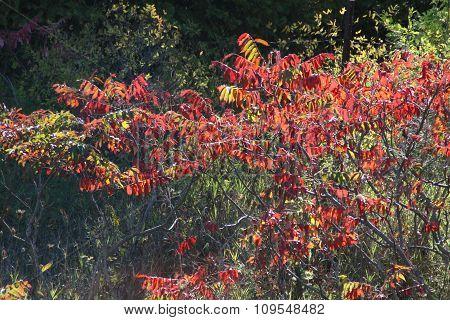 Sumac Colors of Autumn