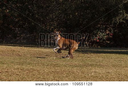 Boxer mix dog playing