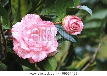 Pink with white Camellia flowers