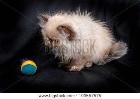 Young Blue Point Himalayan Persian Kitten
