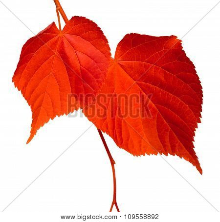 Red Linden-tree Leafs