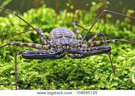 Whip Scorpion (Amblypygi)