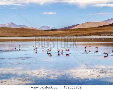 Pink Flamingos In Wild Nature Of Bolivia, Eduardo Avaroa National Park