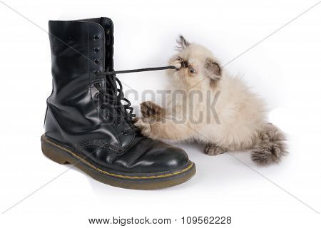 Himalauan Cat Playing With A Boot Lace