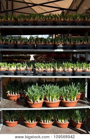 Market stall with daffodil pots
