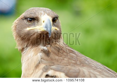 close up Falcon bird