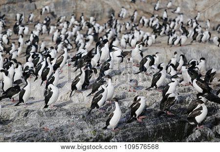 Magellanic cormorants colony on Isla de Los Pajaros or Birds Island In The Beagle Channel