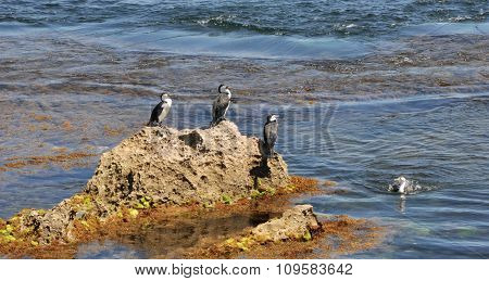 Australian Pied Cormorants: May I Join You?