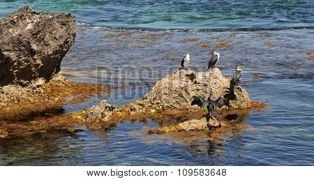 Australian Pied Cormorants: Sunbathing on the Rocks