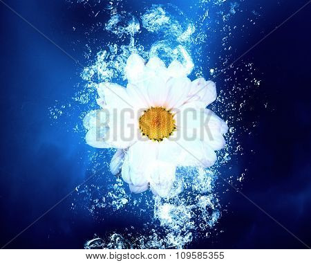 Camomile flower in clear blue water splashes