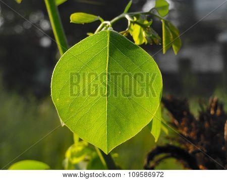 Fresh New Green Leaf from Big Tree