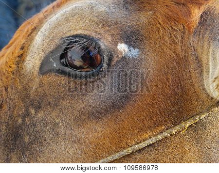 Close up View of Cow's Eye