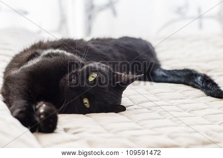 Playful Cat With Black Hair Lying On Bed