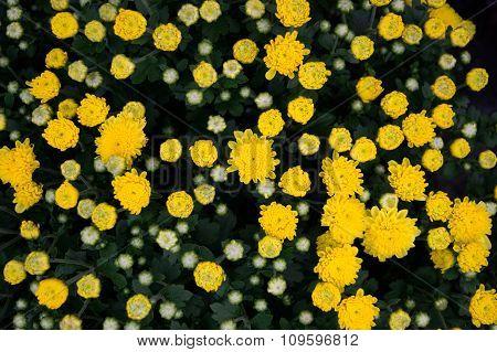 Bud Yellow Chrysanthemum flower Garden abstract background