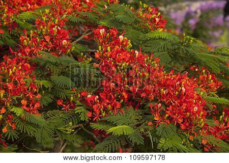 Phoenix flower (Flamboyant)