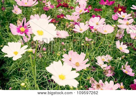 Pink and white Sulfur Cosmos flower blossom