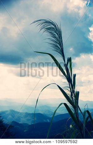 Bamboo grass or Tiger grass (Thysanolaena latifolia)  - vintage style