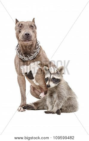 Pit bull sitting with his paw on the head of a raccoon