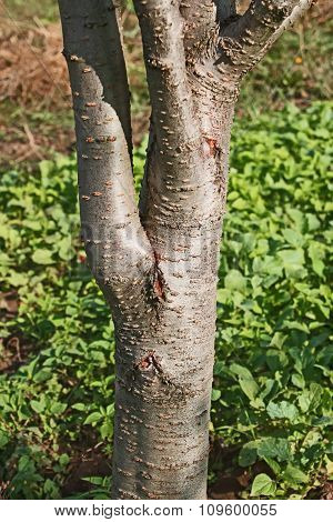 Trunk Of A Young Plum Tree