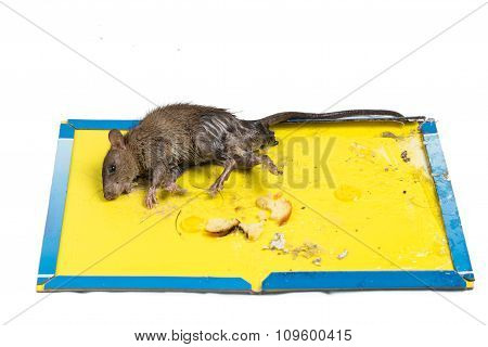Rat Captured On Disposable Glue Trap Board Isolated In White