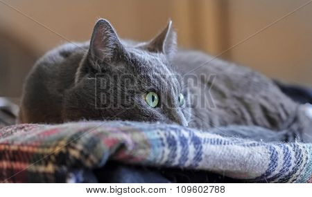 Watchful Grey Eye Cat