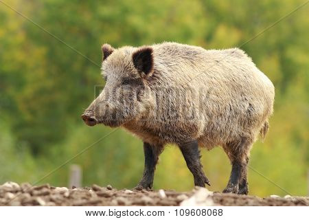 Big Wild Boar In A Glade