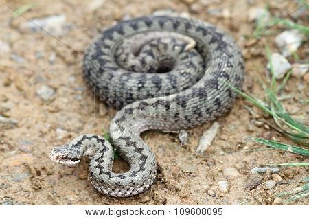 Common European Adder On The Ground