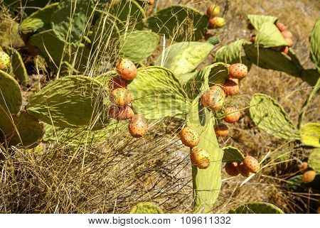 Cactus Fruit, Moclin, Granada, Andalusia, Spain