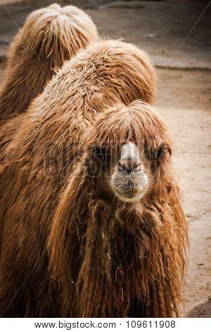 Portrait Of A Camel, Madrid, Spain