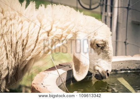 Female Sheep Drinking Water From A Water Bin