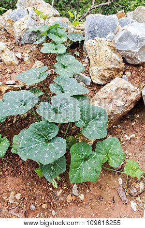 Young Pumpkin Trees Glow Up On Red Lateritic Soil