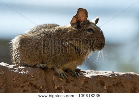 The Degu (Octodon degus)