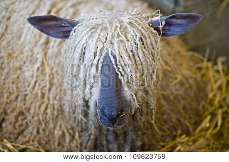 Long hair sheep