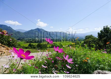 Cosmos Flower With Mountain View