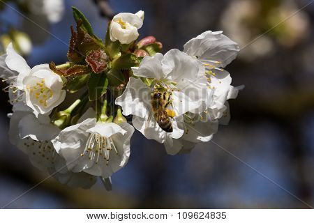Bee On A Cherry Blossom-3