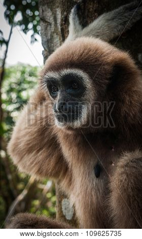 Little Brown Gibbon, Koh Samui, Thailand