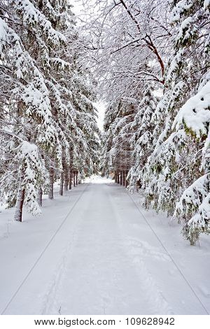 Winter Road With Covered Snow Fir