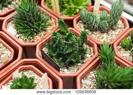 Cactus plants, selective focus haworthia viscosa