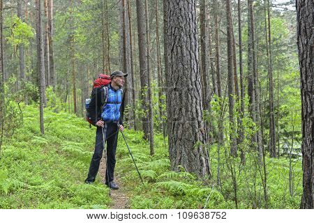 Hiker In A Pine Forest