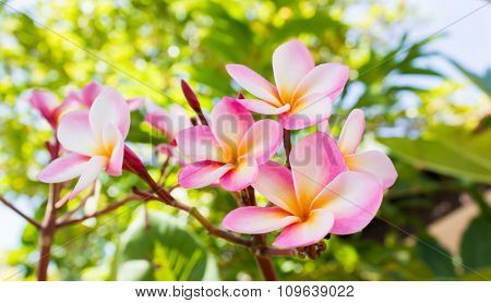 Sweet Pink Flower Plumeria Bunch And Natural Background