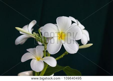 Isolate Beautiful Charming White Flower Plumeria