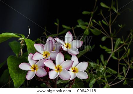 Pink Yellow Flower Plumeria Bunch With Nature Plant On Black Background