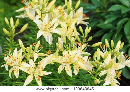 Yellow Tiger Lilies