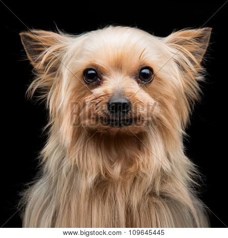 Yorkshire terrier over black background