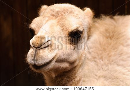 Young camel headshot